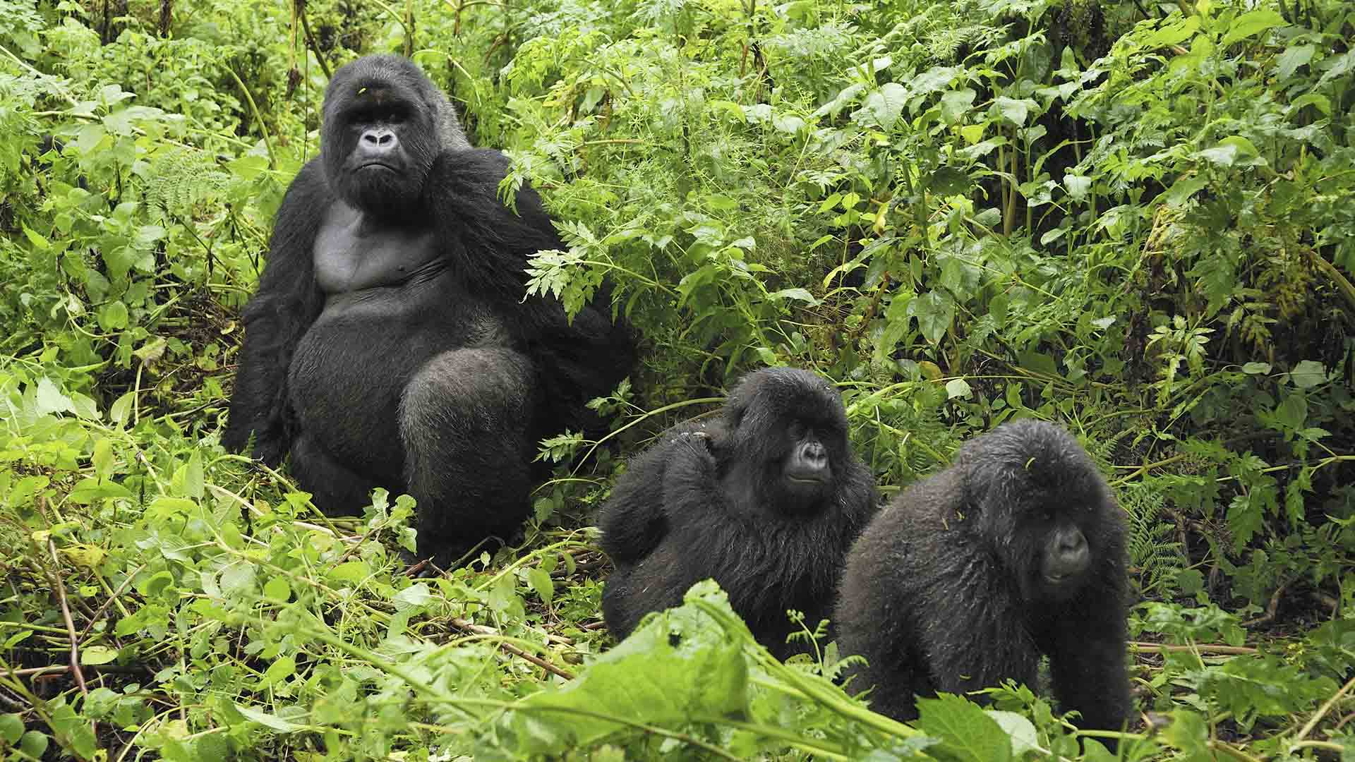 Gorilas de montaña, viajes programados a Uganda