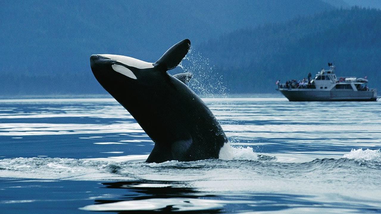Orca - viajes programados a Canadá