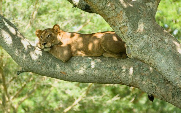 Leona en Ishasha, Queen Elizabeth - safaris por Uganda