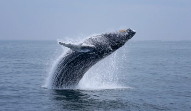 ballena jorobada, Canadá - viajes a Canada