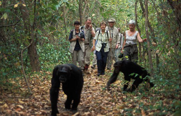 Avistamiento de Chimancés en Uganda - safari por Uganda