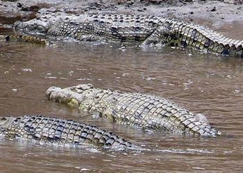 Safari en Tanzania, cocodrilos