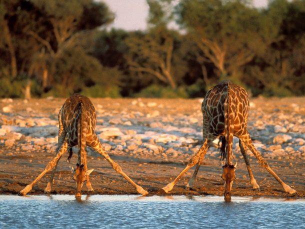 Safari en Tanzania, jirafas en Tarangire