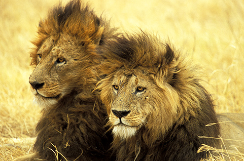 Safari en Tanzania, leones en Ngorongoro