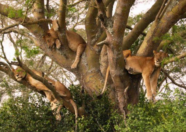 leones trepadores, lago Manyara - viajes y safaris por Tanzania