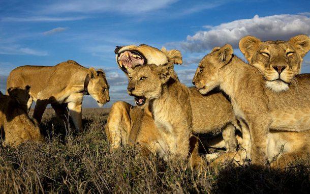 safari en Tanzania, leones en Serengeti
