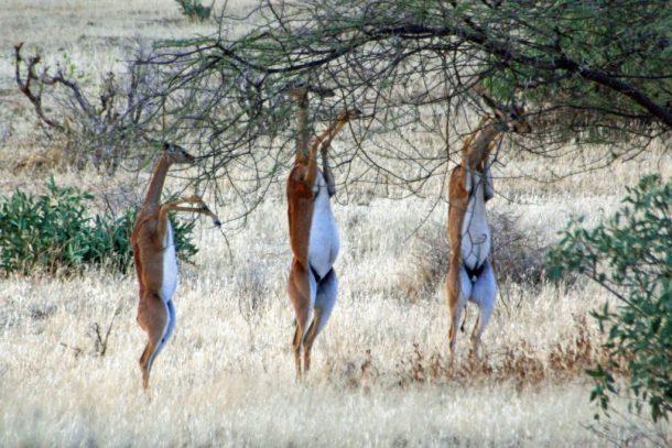 Gerenuks Samburu - safari por Kenia