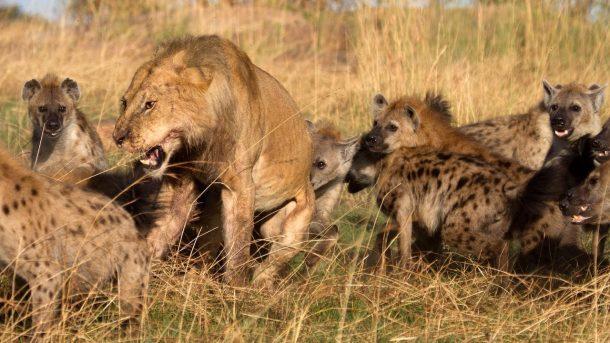 Hienas y león - safari por Kenia