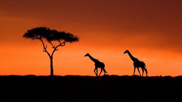 Acacia y jirafas - safari Kenia
