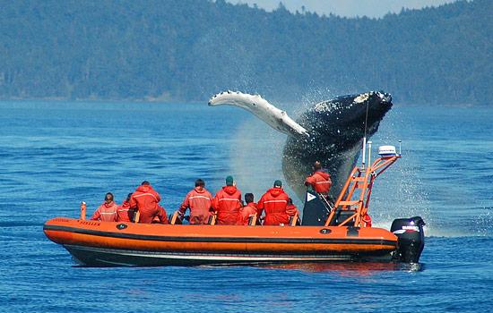 Avistamiento de ballenas en el golfo de Saint Laurent - viaje a Canadá