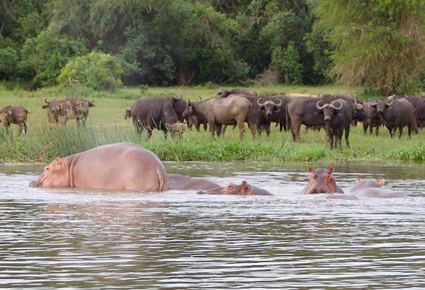 Búfalos e hipopótamos en el río Nilo, PN Cataratas Murchinson - viaje a Uganda