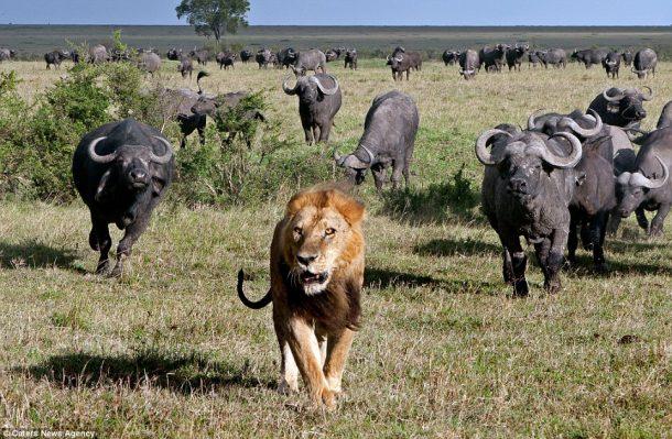 Búfalos y león en Masai Mara - Safari por Kenia y Tanzania