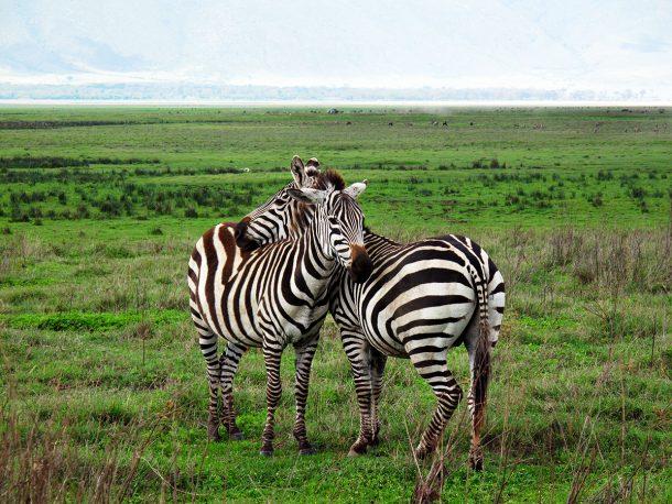 Cebras Ngorongor - safari Tanzania