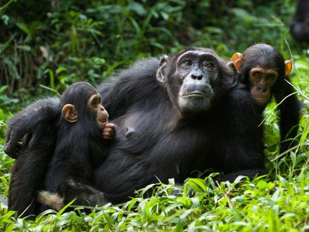 Família de chimpancés en Kibale - viaje a Uganda