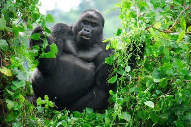 Gorila de montaña, Bwindi - viaje a Uganda