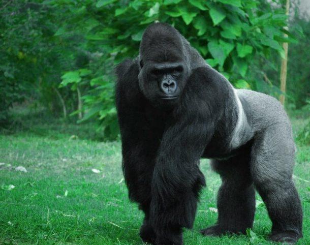 Gorila de montaña - safari Tanzania y gorilas en Ruanda