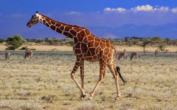 Jirafa reticulada, Samburu - safari Kenia