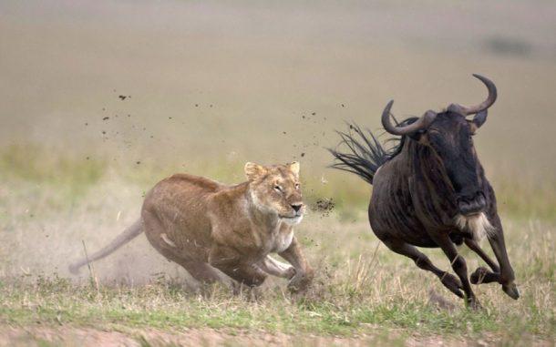 Leona y ñu, Serengeti - safari Tanzania