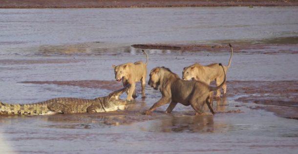 Leones y cocodrilo en Samburu - viaje a Kenia y Zanzibar