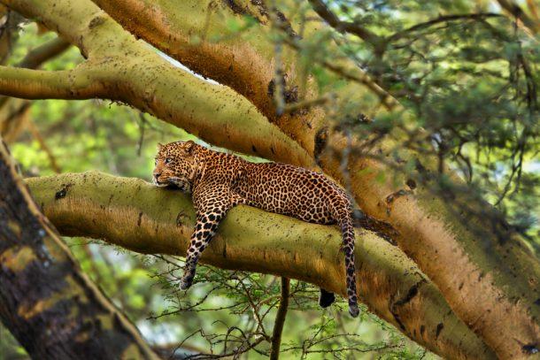 Leopardo Nakuru - safari Kenia