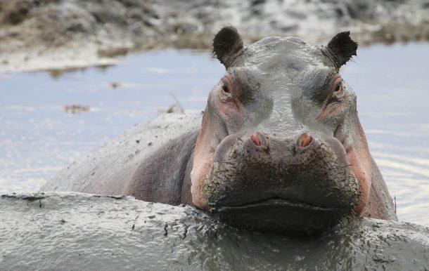 Hipopótamo, lago Manyara - safari Tanzania