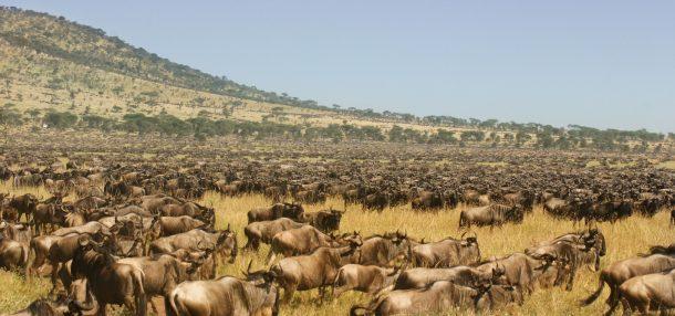 Gran migración, Serengeti - safari por Kenia y Tanzania