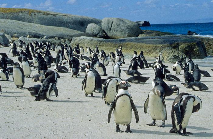 Pingüinos en la playa de Boulders - Viaje a Sudáfrica
