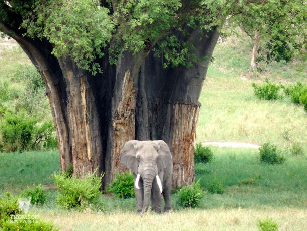 Tarangire elefante y baobab - safari Tanzania