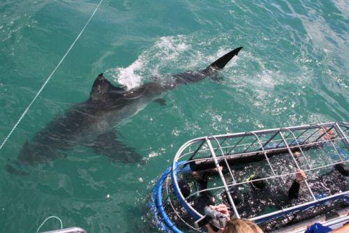 Avistamiento del tiburón blanco, viaje a Sudáfrica