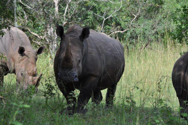 Rinoceronte negro, santuario de Ziwa - viaje a Uganda
