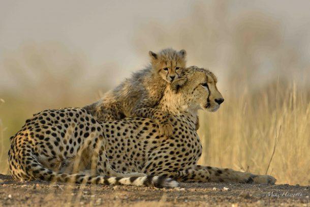 Guepardos en Serengeti - safari por la ruta norte de Tanzania