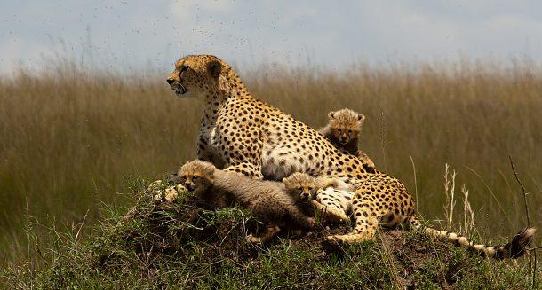 guepardos en Masai Mara - safari en Kenia y Tanzania
