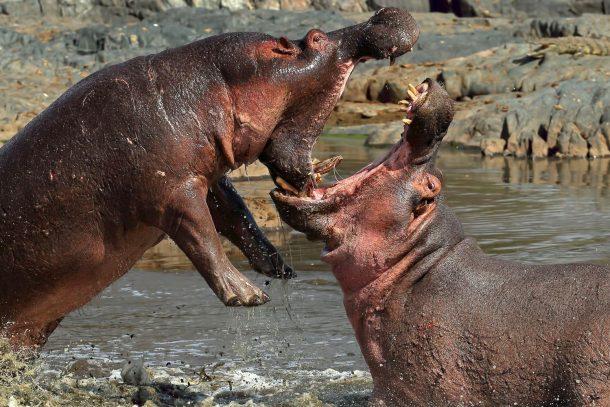 Hipopotamos en Ngorongoro - safari por la ruta norte de Serengeti