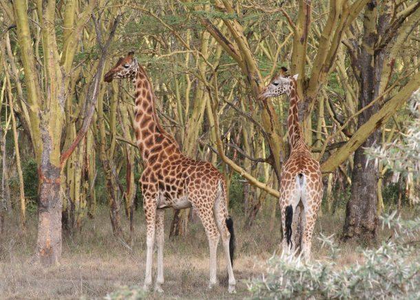 Jirafas en el lago Nakuru - safari en Kenia y Tanzania