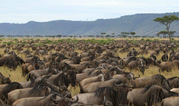 Ñues en Serengeti, migración - safari por la ruta norte de Tanzania