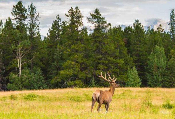 Ciervo en Minnewanka - viaje a oeste de Canadá