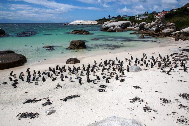 Pingüinos - Excursión a la Península del Cabo de Buena Esperanza
