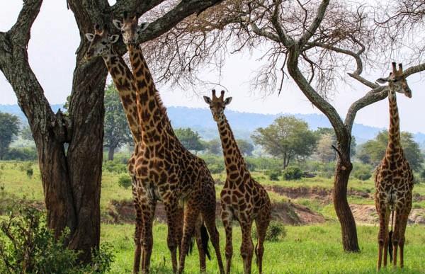 jirafas en Tarangire - safari por la ruta norte de Tanzania