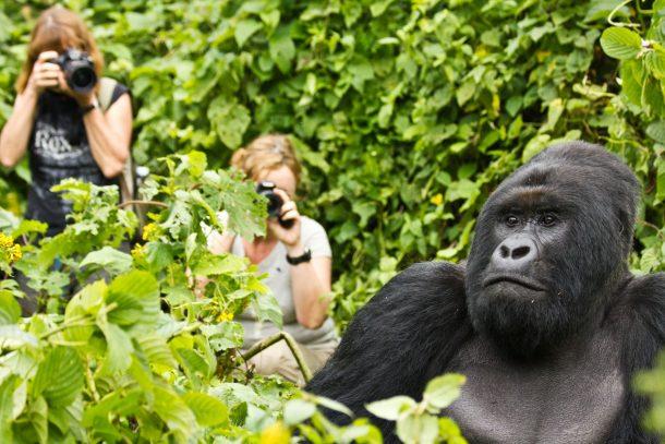 Gorilas de montaña, Bwindi - safari por Uganda