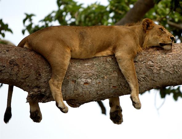 Leones de Queen Elizabeth - safari por Uganda