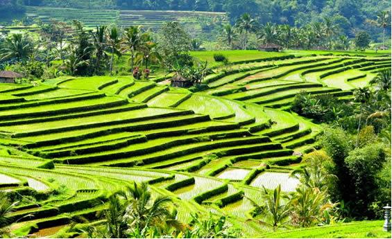 Arrozales de Bali - viaje a Bali y Java