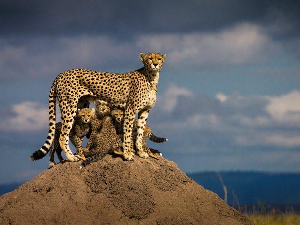 Guepardos en Masai Mara - Safaris en Kenia