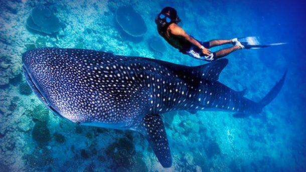 Snorkel en Maldivas, tiburón ballena - viajes a Maldivas