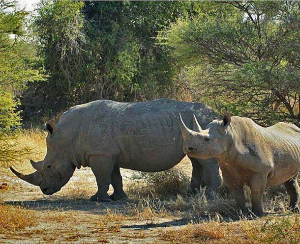 Rinocerontes blancos, Xakanaxa, reserva de Moremi - safari por Botswana