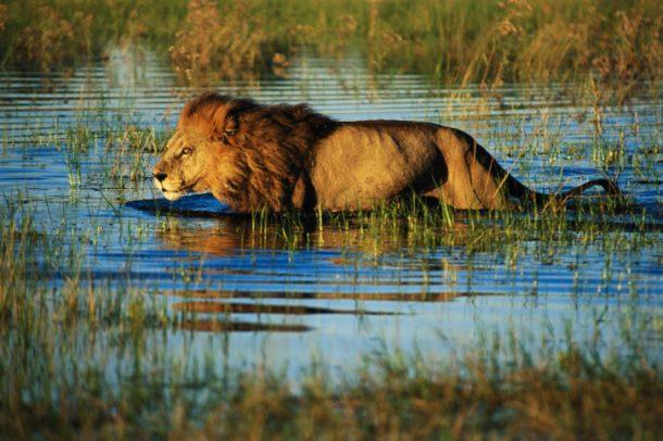 León en el delta del Okavango - safari por Botswana