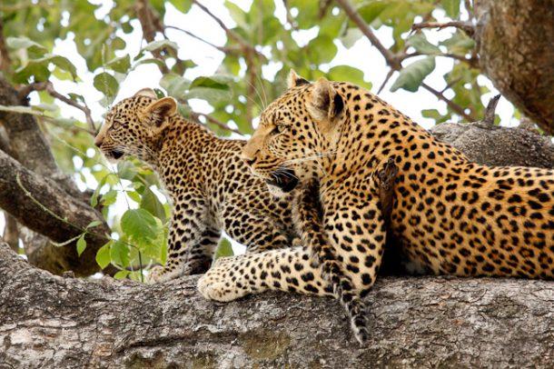 Leopardos en la reserva de Moremi - safari por Botswana
