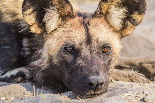 Perro salvaje, Moremi - safari por Botswana
