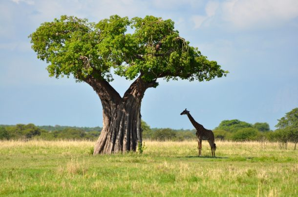 Tarangire - safari en Kenia y Tanzania