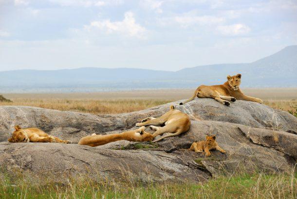 Leones en Masai Mara - Viaje por Kenia en español