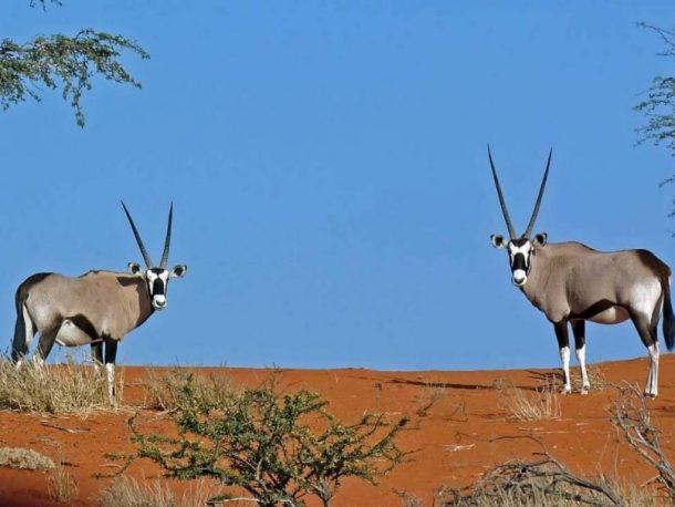 Oryx, Kalahari - viaje a Namibia
